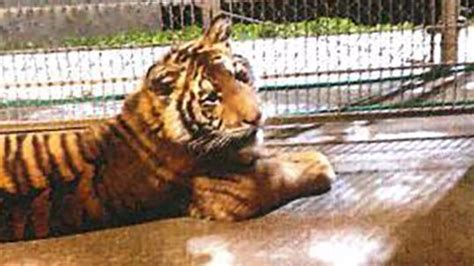 Tyga Criminal Record Tiger Trouble Accused Of Illegally Buying Bengal Cub For Rapper Tyga Sun Sentinel