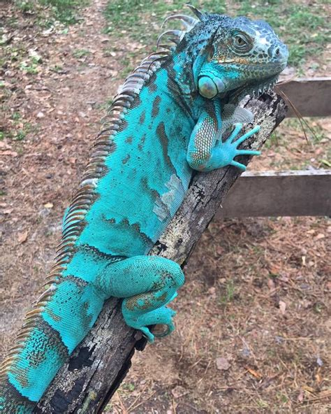 27 best reptiles and hibians images on pinterest 30 best images about lizards frogs turtles of southern