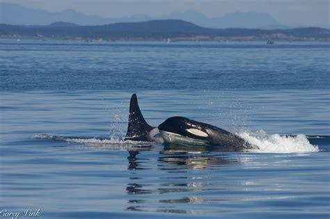 Whale L l pod orcas humpback whale august 9 2015 orca spirit adventures
