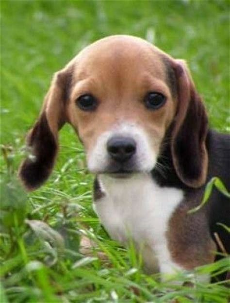 Foxhound Shedding by 25 Best Ideas About Foxhound On Beagle Kennel Beagle And Beagle