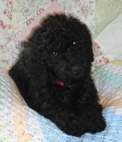 shelters in michigan image search labradoodle dogs for adoption in michigan breeds picture
