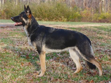 german shepherd puppies in michigan top 21 fantastic experience of this year s german shepherd