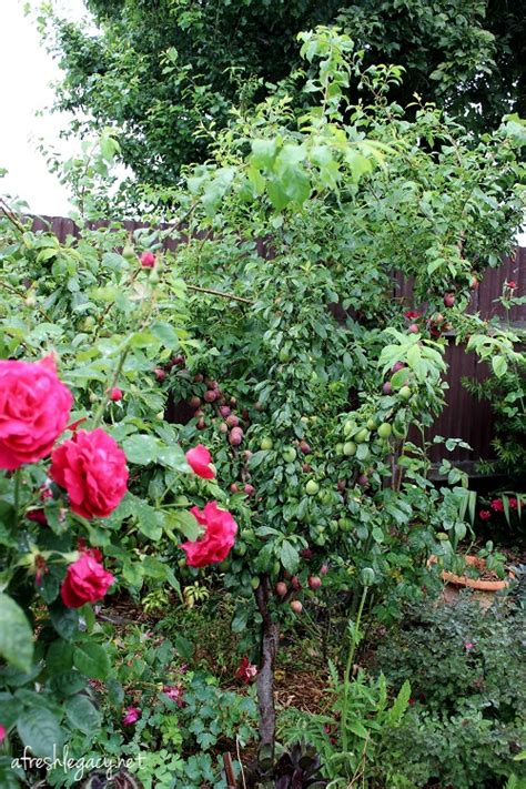 why are many fruit plants trees vegetable gardening in the suburbs