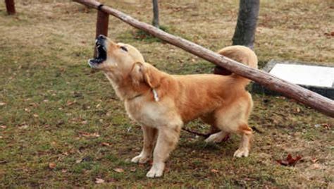 aggressive golden retriever puppy breeds that are easy to pets world