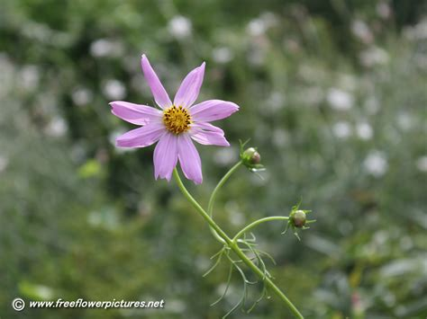cosmos flower pictures