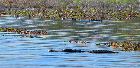 myakka river boat tour myakka river state park airboat lake cruise alligators