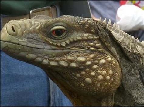 repticon coming to twin cities 171 wcco cbs minnesota