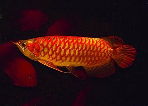 jual alquarium  ikan arwana super red harga murah
