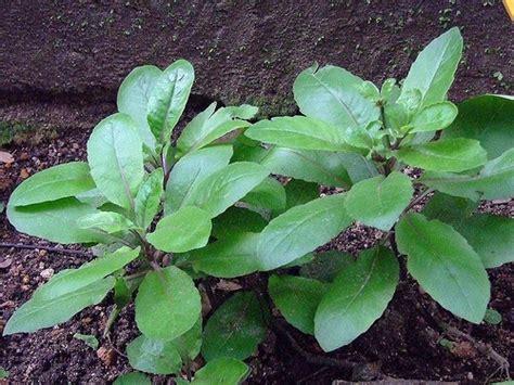 khasiat tanaman apotek hidup  wajib  ketahui