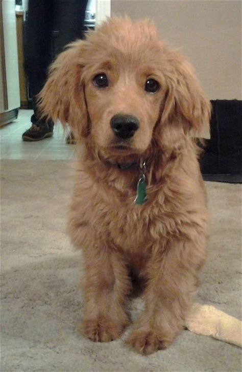 golden cocker retriever size golden cocker retriever the quot forever quot puppy