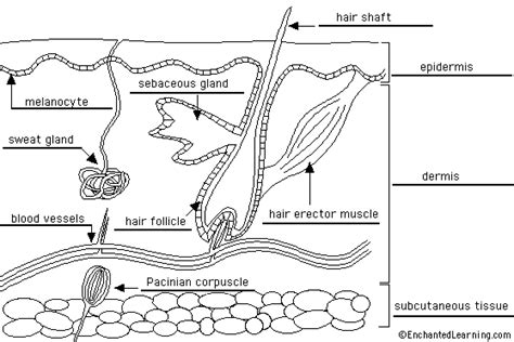 skin diagram labeled anatomy pictures of the skin diagram