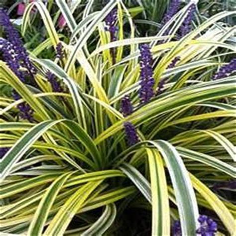 onlineplantcenter  gal variegated lily turf plant lcl