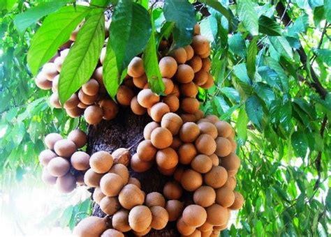 buah asli indonesia   langka azpedia