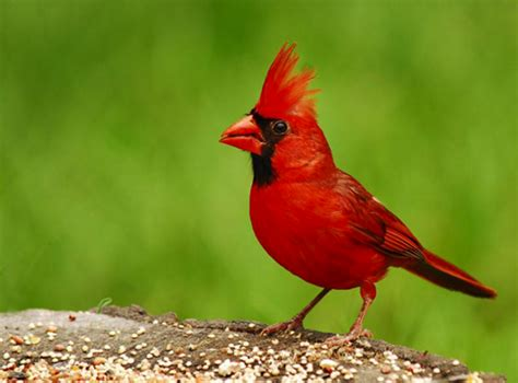 state birds north carolina nc state bird list of 50 state birdes of