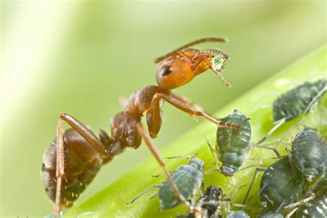 do ants eat aphids how to get rid of ants on cannabis plants zenpype