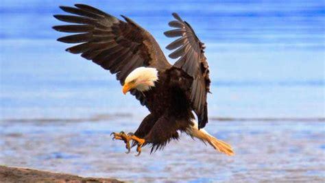 wallpaper elang hitam 12 gambar burung elang yang gagah pernik dunia