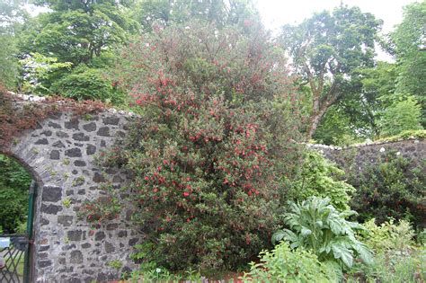 Flowering Shrubs For Partial Shade - crinodendron hookerianum landscape architect s pages