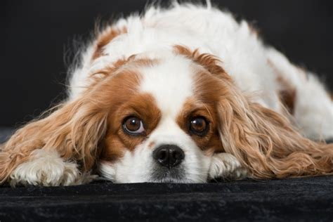 cavalier king charles spaniels whats good and bad about em cavalier king charles spaniel cavalier king charles