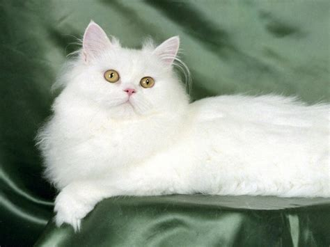 wallpaper white cat hd most beautiful cats wallpapers hd photos images download