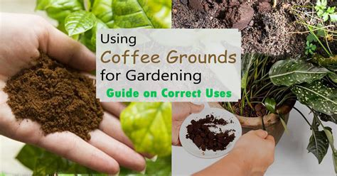 Coffee Grounds Gardening by Using Coffee Grounds For Gardening Guide On Correct Uses