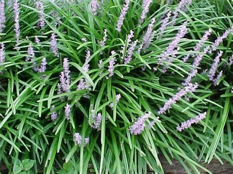 piante tappezzanti perenni fiorite liriope piante perenni conoscere la pianta di liriope