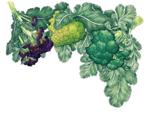 Gardening Broccoli All About Growing Broccoli Organic Gardening