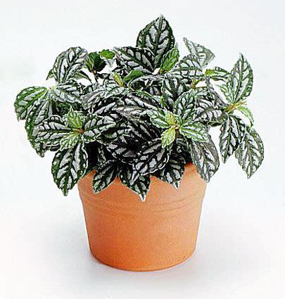 Tanaman Hias Daun Calathea Zebrina crested mania reptile safe plant list crested mania