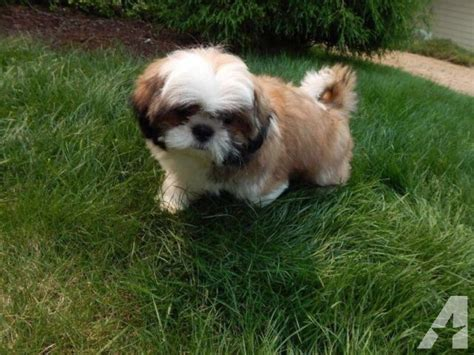 akc shih tzu akc shih tzu puppy for sale in crocker washington classified americanlisted