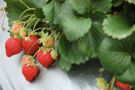 wann pflanzt petunien erdbeeren schneiden selphiescorner rezept erdbeer apfel