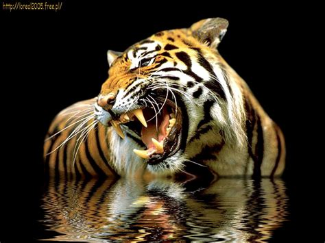 imagenes 4k tigre wallpapers de tigres hd 2 chainimage