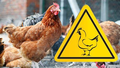 Backyard Chickens Safety Backyard Chickens Avian Flu 28 Images Csu Expert Keep