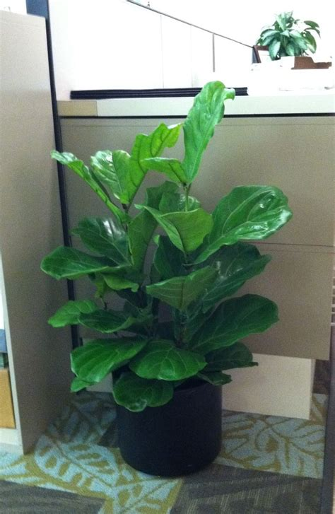 easy to take care of indoor plants easy to take care of indoor plants easy care fiddle leaf