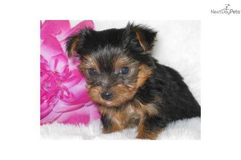 4 lb yorkie meet calista a terrier yorkie puppy for sale for 800 akc