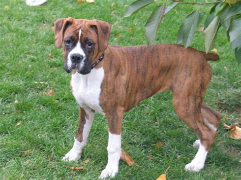 types of boxer dogs different boxer breeds 9 hd wallpaper dogbreedswallpapers