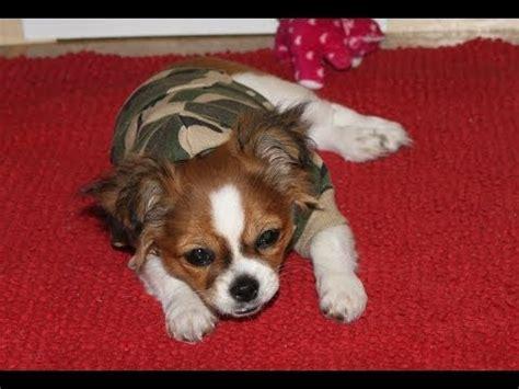 when do shih tzu stop growing jones chihuahuas ckc reg d chihuahua cheeka s pups growing up funnydog tv