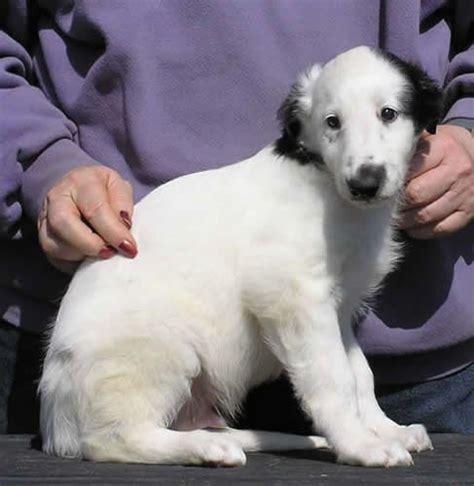 silken windhound puppies 70 best borzois silken windhounds images on russian wolfhound doggies