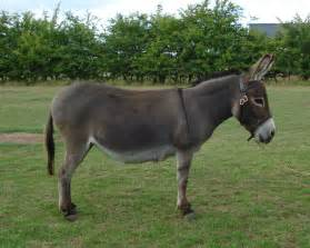 Donkey facts history useful information and amazing pictures