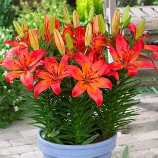 25 best ideas about asiatic lilies on pinterest lilies lily and lilly flower