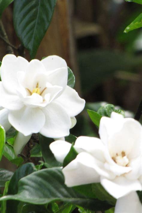 fragrant night blooming flowers  flowers