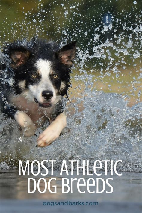 most athletic dogs most athletic breeds dogs and bark