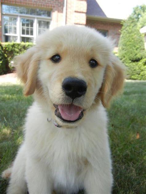 scottish golden retriever names best 25 golden retriever names ideas on puppies pups and