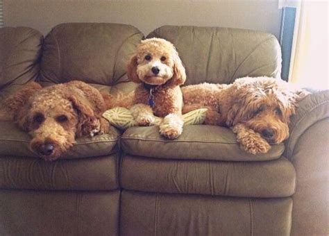 goldendoodle puppy crate 1000 images about puppy on f1b