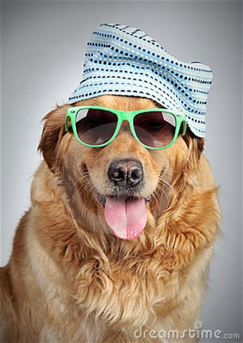 golden retriever with sunglasses golden retriever in cap and sunglasses royalty free stock images image 20922019