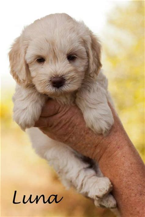 doodle puppy names puppies australian labradoodle my australian