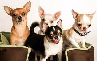 chihuahua colors chihuahua colors breeds picture