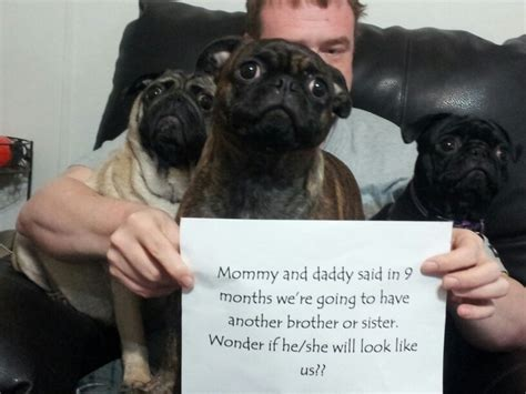 pregnancy in pugs pug breeds picture