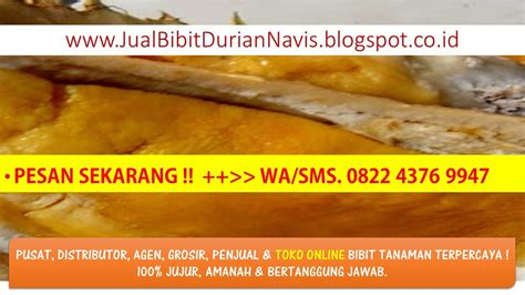 Bibit Durian Musang King Banjarmasin 082 243 769 947 wasms jual bibit durian musang king di