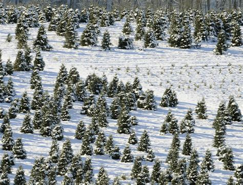 for christmas tree farmers a long wait for sales