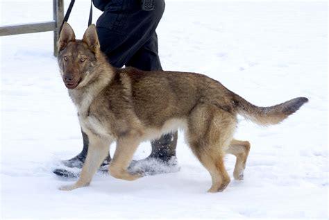 retired dogs retired german shepherd dogs 15 free hd wallpaper dogbreedswallpapers
