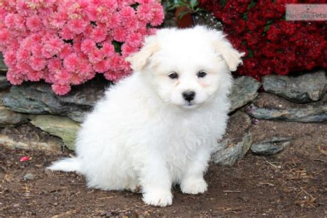 pomapoo puppies for sale poma poo pomapoo puppy for sale near lancaster pennsylvania a7b91f78 c911